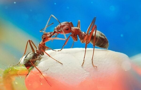 Read more about the article Συμφέρει πολλούς να φαγώνονται μεταξύ τους τα μυρμήγκια